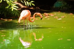 The pink Caribbean flamingo goes on water. Pink flamingo goes on a swamp Royalty Free Stock Photos