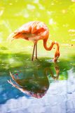 The pink Caribbean flamingo goes on water. Pink flamingo goes on a swamp Stock Images