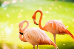 The pink Caribbean flamingo goes on water. Pink flamingo goes on a swamp.  Stock Photography