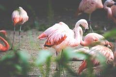 The pink Caribbean flamingo ( Phoenicopterus ruber ruber ) goes on water. Pink flamingo goes on a swamp. Royalty Free Stock Image