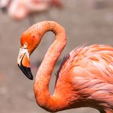 The pink Caribbean flamingo ( Phoenicopterus ruber ruber ) goes on water. Pink flamingo goes on a swamp. Royalty Free Stock Images
