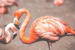 The pink Caribbean flamingo ( Phoenicopterus ruber ruber ) goes on water. Pink flamingo goes on a swamp. Royalty Free Stock Photography