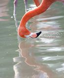 Pink caribbean flamingo washing head in lake Royalty Free Stock Image