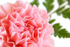 Pink carnation Royalty Free Stock Photos