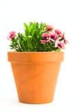 Pink carnation Royalty Free Stock Photos