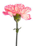 Pink carnation Stock Photo