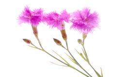 Pink carnation Stock Image