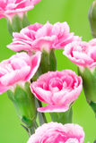 Pink Carnation Royalty Free Stock Images
