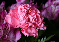 Pink Carnation. Floral Arrangement Royalty Free Stock Photos
