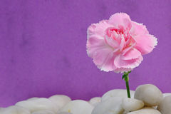 Carnation on Pebbles Royalty Free Stock Images