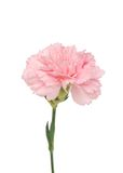 A pink carnation bloom. Closeup on a pink carnation bloom Stock Images