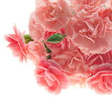 Pink carnation. Bouquet of carnation on white background Royalty Free Stock Image