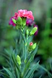 Pink carnation Stock Photo
