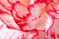 Pink carnation close-up Stock Images