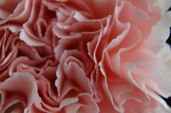 Pink carnation close up. Closeup photos, macro micro, of pink carnation, Dianthus caryophyllus Stock Photography