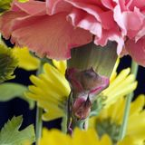 Pink Carnation Detail Stock Images