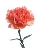 Pink carnation flower Stock Photos