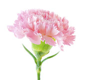 Pink carnation flower Stock Images