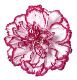 Pink carnation flower Royalty Free Stock Image
