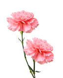 Pink carnation flower Stock Photos