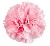 Pink carnation flower Royalty Free Stock Photos