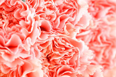 Pink carnation flower close up Royalty Free Stock Photos