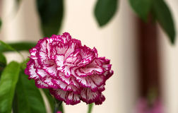 Pink carnation flower Royalty Free Stock Photography