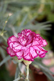 Pink carnation flower Stock Image