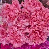 Pink carnation flower closeup Stock Photo