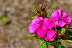 Pink carnation flower growing wild in the summer forest.Bright floral background. royalty free stock photography