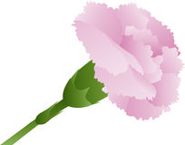 Pink Carnation Flower Illustration Stock Photo