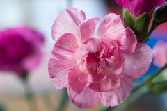 Pink carnation flower macro Stock Photo