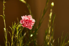 Pink carnation flower in the spring Stock Photography