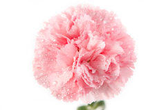 Pink carnation flower with water drop Royalty Free Stock Photography