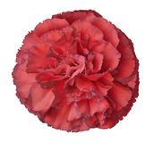 Pink  carnation flower on a white isolated background with clipping path. Closeup. For design. Royalty Free Stock Photos