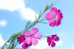 Pink carnation flowers. Stock Image