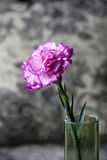 A pink carnation flowers Stock Photography