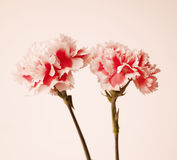 Pink Carnation Flowers Stock Images