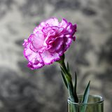 A pink carnation flowers Stock Photo