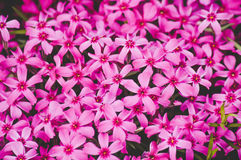 Pink carnation flowers blossom in summer. Forest Royalty Free Stock Image
