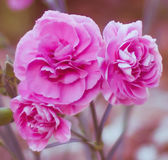 Pink carnation flowers Stock Photo