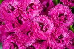 Pink carnation flowers Royalty Free Stock Photography