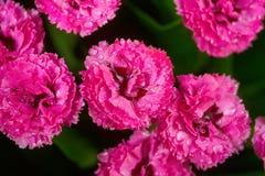 Pink carnation flowers Stock Photo