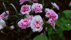 Pink carnation stock footage