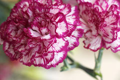Pink carnation flowers Stock Photography