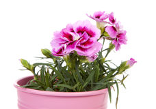 Pink Carnation flowers in closeup Stock Photography