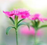Pink carnation flowers Royalty Free Stock Photo