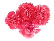 Pink carnation flowers Dianthus caryophyllus Royalty Free Stock Images