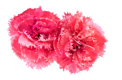 Pink carnation flowers Dianthus caryophyllus Stock Image