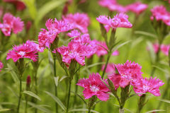 Pink Carnation flowers in the garden Royalty Free Stock Image